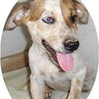 Adopt A Pet :: Kianna - Chandler, AZ