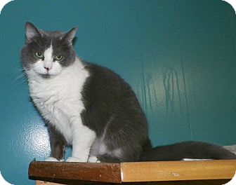 Domestic Shorthair Cat for adoption in Dover, Ohio - Milly