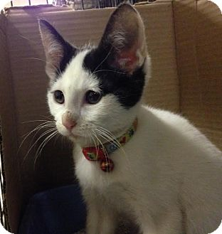 Domestic Shorthair Cat for adoption in East Brunswick, New Jersey - Sweet Pea