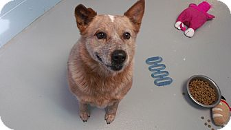 Australian Cattle Dog Mix Dog for adoption in Muskegon, Michigan - Rusty
