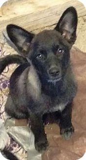 Border Collie/Shepherd (Unknown Type) Mix Puppy for adoption in Las Vegas, Nevada - J's Goochy