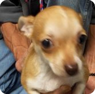 Chihuahua Mix Dog for adoption in Silver City, New Mexico - Vaquero