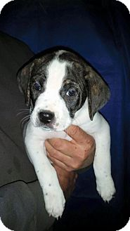 American Pit Bull Terrier/Pug Mix Puppy for adoption in Oxford, Connecticut - Gonzo