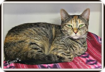 Domestic Shorthair Cat for adoption in Dunkirk, New York - Gucci
