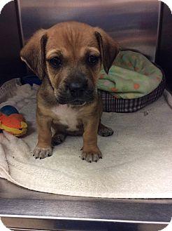 English Setter/Labrador Retriever Mix Puppy for adoption in Moody, Alabama - Jana