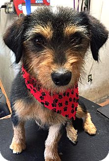 Dachshund/Schnauzer (Miniature) Mix Dog for adoption in Tijeras, New Mexico - April