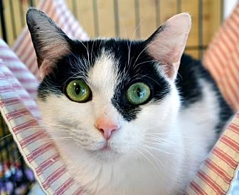 Domestic Shorthair Cat for adoption in Johnson City, Tennessee - Bella
