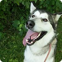 Adopt A Pet :: Avalanche - Augusta County, VA