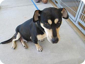 Dachshund Mix Dog for adoption in Cumming, Georgia - Riley