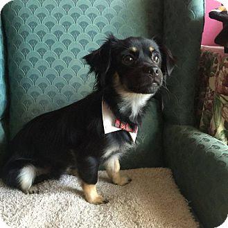 Dachshund/Pomeranian Mix Puppy for adoption in Burlington, Vermont - A - ROCKIE