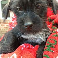 Adopt A Pet :: Lulu's puppies - Royse City, TX