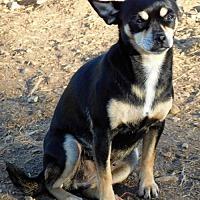 Chihuahua Dog for adoption in Spartanburg, South Carolina - Sophie