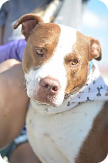 American Pit Bull Terrier/Cattle Dog Mix Dog for adoption in White Settlement, Texas - Buck