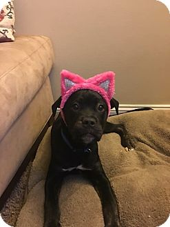Pit Bull Terrier Mix Puppy for adoption in Baltimore, Maryland - Jingles