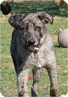 Australian Shepherd/Labrador Retriever Mix Puppy for adoption in Winfield, Pennsylvania - Winnie