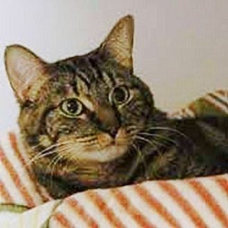 Domestic Shorthair Cat for adoption in Arlington, Virginia - Oyster-Gentle/Timid
