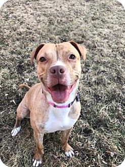 American Pit Bull Terrier/American Staffordshire Terrier Mix Dog for adoption in Warrenville, Illinois - Mariah