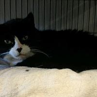 Adopt A Pet :: Maude (Boots) - Saginaw, MI