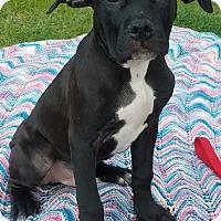 Adopt A Pet :: Rollie-Adopted! - Detroit, MI