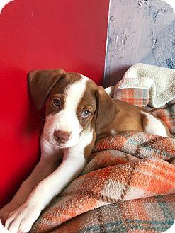 Hound (Unknown Type)/Bulldog Mix Puppy for adoption in Cranston, Rhode Island - JADA-ADOPTION PENDING