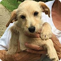Adopt A Pet :: Beau - adorable scruffy - Chicago, IL