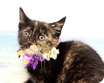 Domestic Shorthair Cat for adoption in Harrisonburg, Virginia - Raven