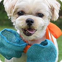 Adopt A Pet :: Kobe - Denver, CO
