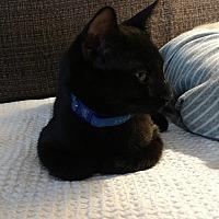 Domestic Shorthair Kitten for adoption in Tampa, Florida - Tyson