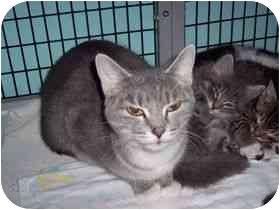 Domestic Shorthair Cat for adoption in Medina, Ohio - Wendla