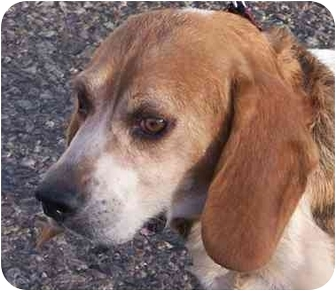 Beagle Mix Dog for adoption in Phoenix, Arizona - Carrie