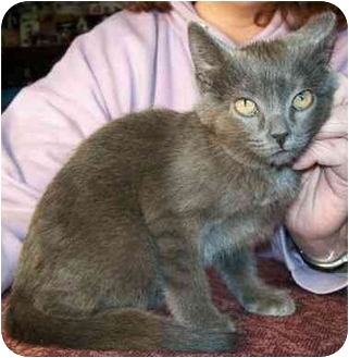 Domestic Shorthair Kitten for adoption in North Judson, Indiana - Bug