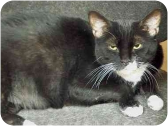 Domestic Shorthair Cat for adoption in Secaucus, New Jersey - Frankie
