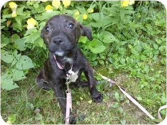American Pit Bull Terrier Mix Puppy for adoption in Raymond, New Hampshire - Jaden