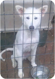 Great Pyrenees Mix Dog for adoption in Broadway, New Jersey - Lily