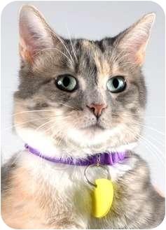 Domestic Shorthair Cat for adoption in Cincinnati, Ohio - Sushi