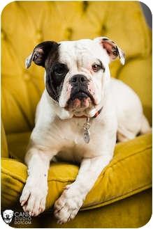 English Bulldog/Boxer Mix Dog for adoption in Portland, Oregon - Jane