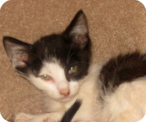 Oriental Kitten for adoption in Dallas, Texas - Ipod
