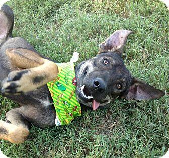 German Shepherd Dog/Labrador Retriever Mix Dog for adoption in Conway, Arkansas - Sammy