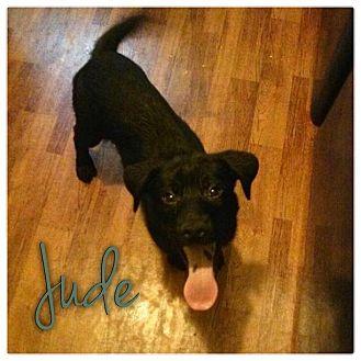 Labrador Retriever/Basenji Mix Puppy for adoption in Garden City, Michigan - Jude