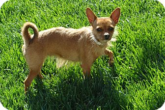 Chihuahua Mix Dog for adoption in Tustin, California - Tiny