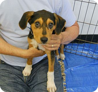 Hound (Unknown Type)/Treeing Walker Coonhound Mix Puppy for adoption in Ventnor City, New Jersey - TONY