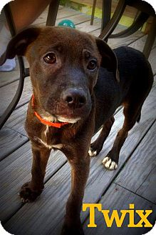 Labrador Retriever Mix Puppy for adoption in Wappingers, New York - Twix