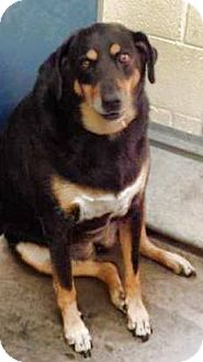 Shepherd (Unknown Type)/Rottweiler Mix Dog for adoption in Scottsdale, Arizona - George