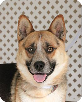 Shepherd (Unknown Type) Mix Dog for adoption in New Rochelle Humane, New York - Robbie