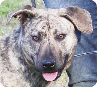 Labrador Retriever Mix Dog for adoption in Chapel Hill, North Carolina - Aimee