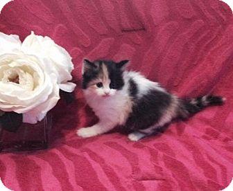 Ragdoll Kitten for adoption in Hampton, Virginia - sophia