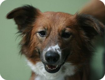 Sheltie, Shetland Sheepdog Mix Dog for adoption in Canoga Park, California - Lovey