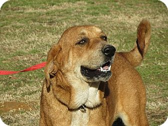 Bloodhound Mix Dog for adoption in Salem, New Hampshire - Abby Hound