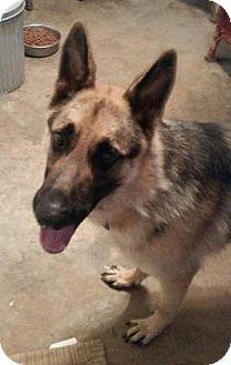 German Shepherd Dog Dog for adoption in Moulton, Alabama - Maximus