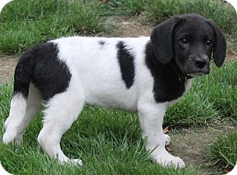 Labrador Retriever/Pointer Mix Puppy for adoption in North Olmsted, Ohio - Rose